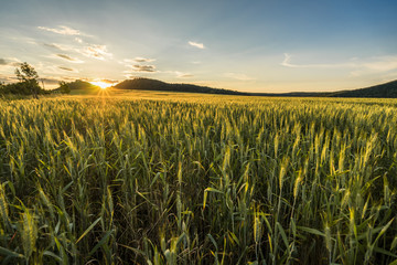 Beautiful barley field in sunset or sunrise. Grain under blue sky with clouds, sun star and hills in the background. Farming country, green field of barley.