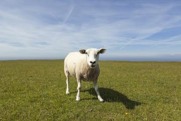 Schaf vor Horizont