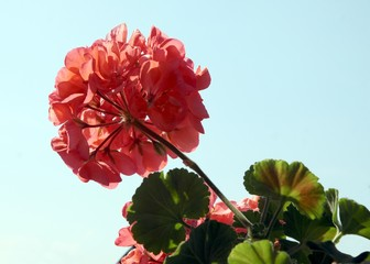 red geranium flowers against blue sky