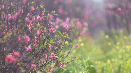 Hanoi Peach blossom