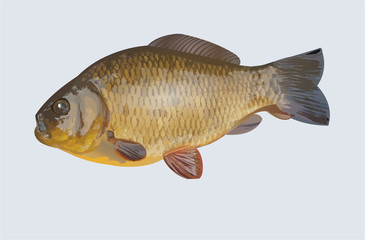 Carp realistic vector illustration for fishing theme isolated on light background