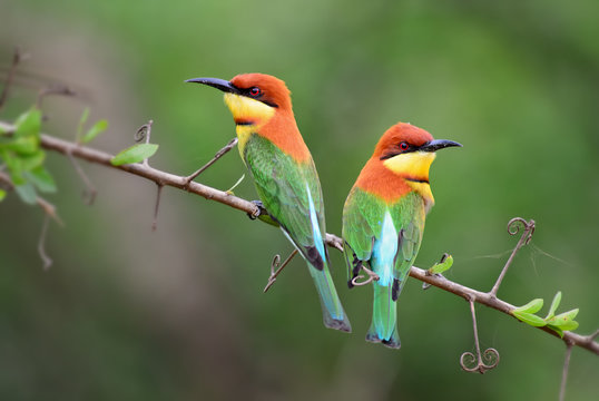 Chestnut-headed Bee-eater - Merops leschenaulti, beautiful colorful bee-eater from Sri Lankan woodlands and bushes.