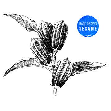 Hand drawn sesame plant