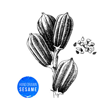 Hand drawn sesame plant and seeds