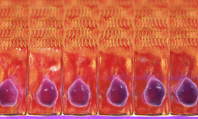 Simple columnar epithelium, 3D illustration. Histology background. Columnar epithelium is found in digestive system, uterus