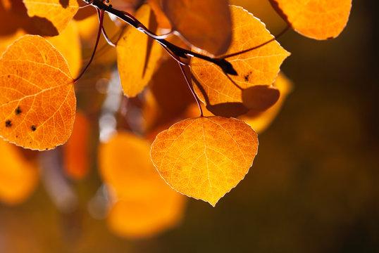 Orange Autumn Aspen Leaf