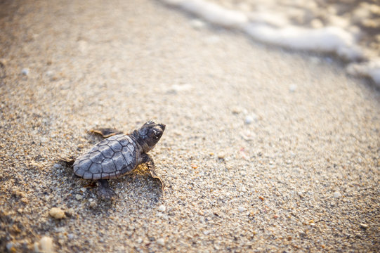 Beautiful freshly hatched baby turtle making its way from the nest, down a sandy beach to the ocean at dawn.