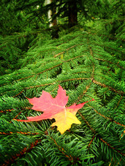 Red Maple Leaf Resting on Branch of Green Pine Tree