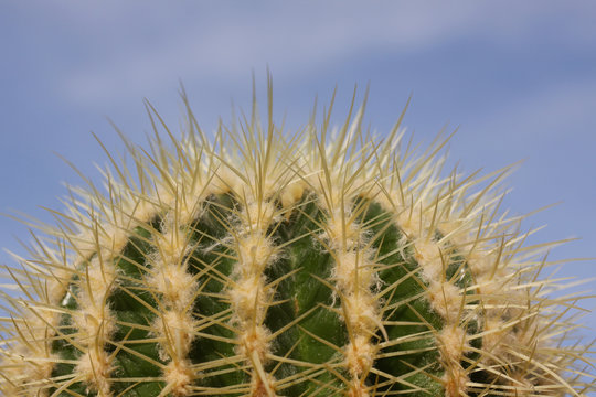 Circular  cactus plant in close up with blue sky background