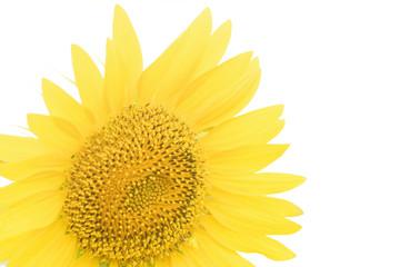 .Isolated sunflower on white background.