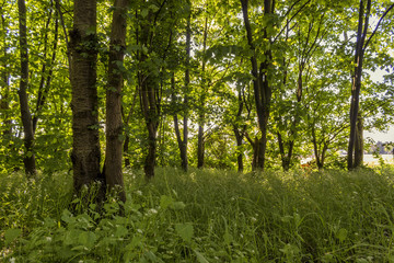 Closeup of a deciduous forest in backlit