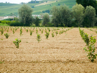 Hill near La Morra with hazelnut field in the Langhe, Piedmont - Italy