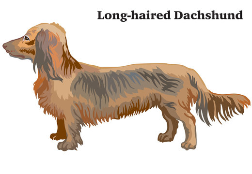 Colored decorative standing portrait of dog Long-haired Dachshund vector illustration