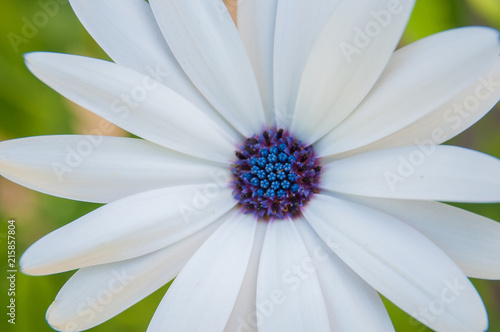 White Daisy With Blue Center On Green Background Spring Flower Macro