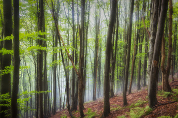 summer beech forest on the slopes of the mountains, Ukrainian Carpathians