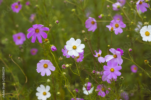 Pink And White Cosmos Flowers Stock Photo And Royalty Free Images