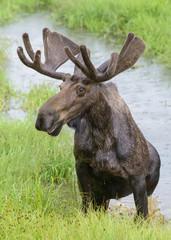 Shiras Moose of The Colorado Rocky Mountains. Bull Moose in the Rain