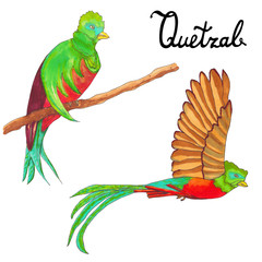 Quetzal burds. Flying quetzal bird and sitting queztal bird. Quetzal with respleded wings, Hand drawn artistic sketch illustration