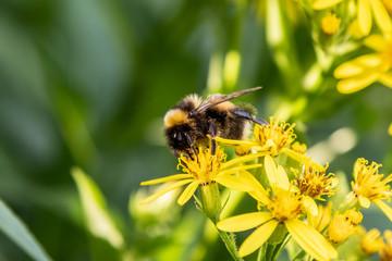 A bumblebee (Bombus)