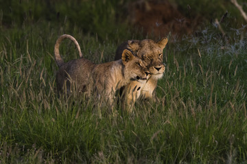 A lioness (Panthera leo) and her cub, Tsavo, Kenya, East Africa, Africa