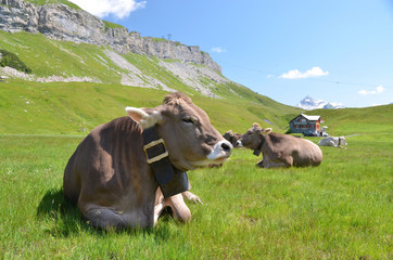 Wall Murals Cow Cows in an Alpine meadow. Melchsee-Frutt, Switzerland