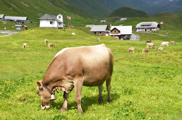 Wall Mural - Cows in an Alpine meadow. Melchsee-Frutt, Switzerland