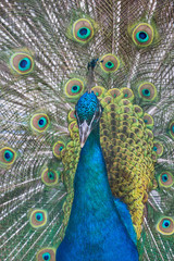 peacock with green and blue tail closeup