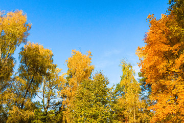 Beautiful autumn forest. Yellow and orange trees against the blue sky