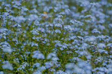 forget-me-nots flowers on green