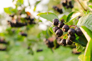 Fresh aronia berries on a branch