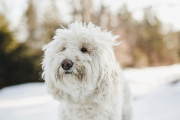 Close-up of white hairy dog standing on snow covered field