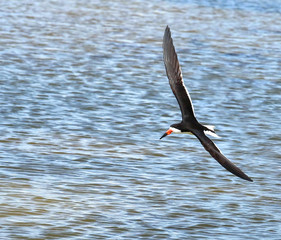 Black skimmer in flight over the blue waters of the Gulf of Mexico.