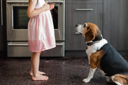 Beagle dog waits patiently for a treat from young girl in the kitchen