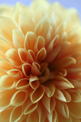 Close Up Of A Pale Orange Dahlia Flower