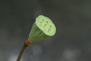 Green lotus pod in gray background