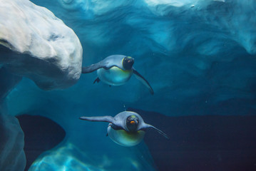 Photo sur Toile Pingouin Penguins swimming underwater