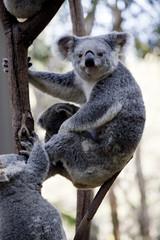 mother koala and joeys