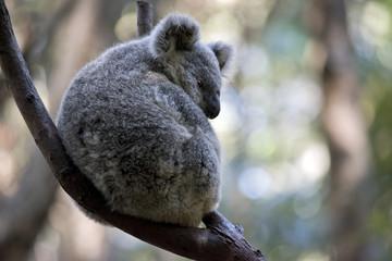 an Australian koala
