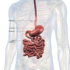 Esophagus, Stomach and Small Intestines Labeled in Male Internal Anatomy