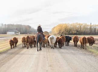 back view of cattle drive down a dirt road
