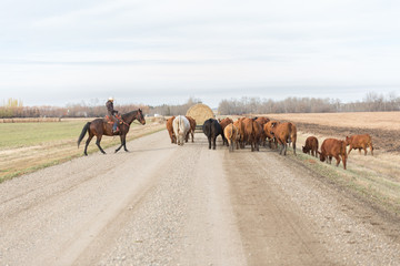 cattle drive on a dirt road