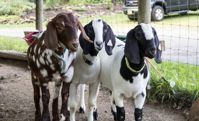 Spotted lop-earred goat trio, Boer Goats