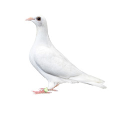 white feather pigeon bird isolated white background