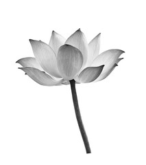 Black lotus flower on white background