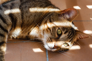 Gato bengalí tumbado. Felis catus x prionailurus bengalensis.