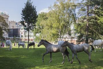 Lipizzaner im Burggarten, Hofreitschule Wien, Piber meets Vienna