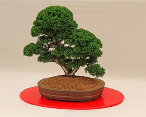 A Fabulous Juniperus Chinensis Miniature Bonsai Tree.