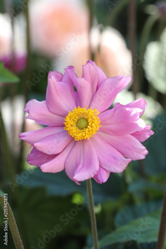 Herbst Anemone In Pink Makro Anemone Japonica Stock Photo And
