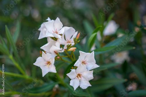 White oleander flowers nerium oleander from the mediterranean sea white oleander flowers nerium oleander from the mediterranean sea mightylinksfo