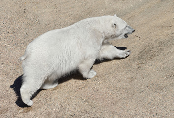 Young polar bear (Ursus maritimus). Finnish Lapland. Summer, heat